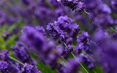 Lavender growing (close up)