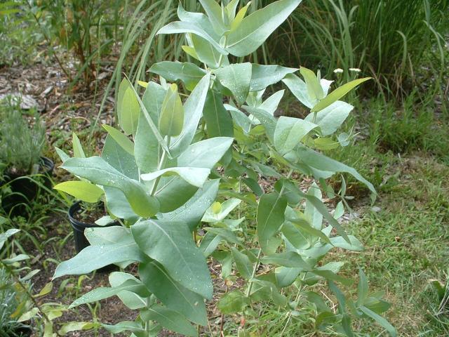 Eucalyptus globulus, companionplants.com