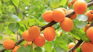 apricots ripe on the tree